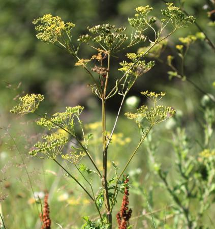 Wild parsnip. Photo credit: Rob Routledge, Sault College
