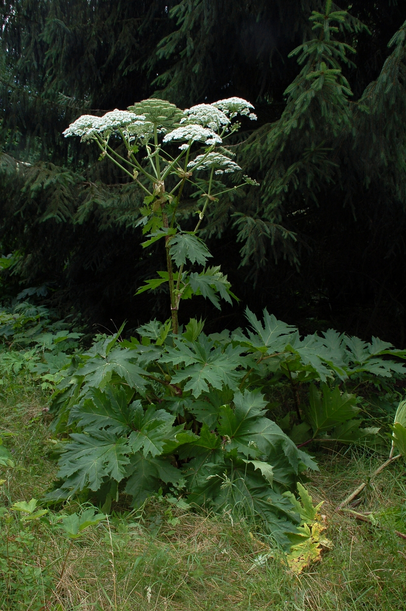 Giant hogweed. Photo credit: Fritz Geller-Grimm